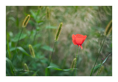 The last one. (smoothna) Tags: poppy red green nature poland smoothna 50mm d90 field