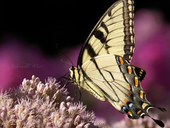 """""""My body can go anywhere but my heart stays with you"""" (NaturewithMar) Tags: tiger swallowtail butterfly insect macro milkweed nikoncoolpix l330 ngc npc"""