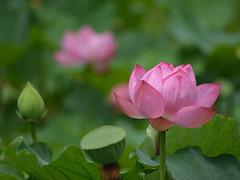 Lotus (waterperry2002) Tags: lotus flower nikon d5100
