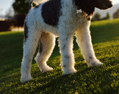 Silver Lining (JasonCameron) Tags: dog poodle fluffy sunset light play fun cute pet grass green summer time