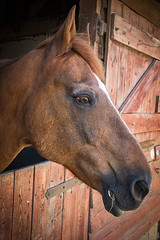 201/366: Have I got something in my teeth? (judi may) Tags: wood portrait horse stable hertfordshire canon7d hitchinlavenderfarm day201366 366the2016edition 3662016 19jul16