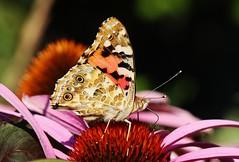 Vanessa cardui on Echinacea purpurea (Hugo von Schreck) Tags: vanessacardui echinaceapurpurea insect insekt butterfly schmetterling falter distelfalter outdoor hugovonschreck tamron28300mmf3563divcpzda010 canoneos5dsr yourbestoftoday
