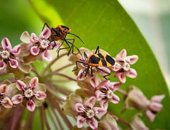 Milkweed leaf beetles on wax flowers. (bkkay1) Tags: insects chicago macrophotograph flowers
