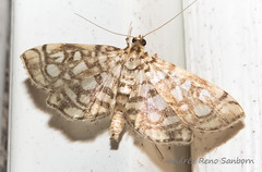 Bog Lygropia - Hodges#5250 (Lygropia rivulalis) (July 26, 2016) (2 of 3) (Andre Reno Sanborn) Tags: boglygropia boglygropiahodges5250lygropiarivulalis hodges5250 lygropiarivulalis barton vermont unitedstates