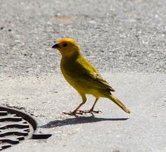 Saffron Finch (Neil DeMaster) Tags: conservation bonairewildlife bonaire nature wildlife saffronfinch finch bird