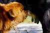 Verse melk (Roel Wijnants) Tags: roelwijnants roelwijnantsfotografie roel1943 melk rund hooglander schotsehooglander kalf aantal 12 westduinpark natura2000 dunea gebied wandelen natuur ontmoeting kijkduin