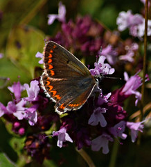 Brown Argus (Gaz-zee-boh) Tags: butterfly swanage dorset purbeckway insect nature lepidoptera uk almostanything d7k nikon