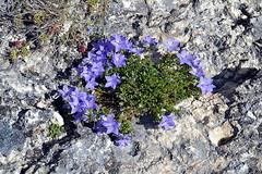 Flora spontanea - Rocca Calascio - Abruzzo, provincia de L'Aquila - 1.460 metri s.l.m. (boscam) Tags: italia abruzzo laquila flora rocca castello montagna appennino
