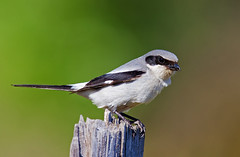 Loggerhead shrike (Thy Photography) Tags: loggerheadshrike fullframe animal wildlife depthoffield bird backyard nature outdoor photography songbird avian