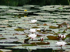 little pond in the forest (achatphoenix) Tags: pond teich tang mare water eau wasser aqua nymphaea seerose schilf ostfriesland eastfrisia forest