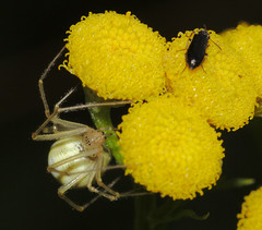 Enoplognatha ovata on tansy (tanacetum vulgare) watching a bug (stanzebla) Tags: enoplognathaovata tansy tanacetumvulgare rainfarn spiders tanaisiecommune