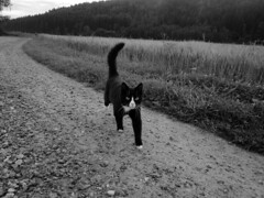 (SofiDofi) Tags: ise summer2016 animalistic outdoors country stfold cutie cat blackandwhite curious feline furry sweetheart countryside countryroad hellothere farmcat farmkitty
