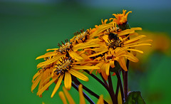 Yellow & Green. Summer colours... (L.Lahtinen) Tags: flowers yellow green bokeh summer kukat kes nature nikond3200 55300mm larissadatsha finland suomi luonto flora kasvit plants catchycolors beauty