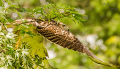 Red Tail - take off! (dbking2162) Tags: red tail trees tree wildlife nature birds bird birdofprey hawk eagle outside outdoor hunting majestic