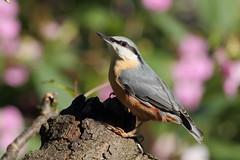 A posing nuthatch (david.england18) Tags: nuthatch smallbirds various tits blue coal great robin queensparkheywood canon7d canonef300mmf4lisusm birdsuk