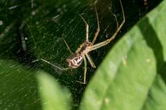 Spinne auf einem waagerechten Netz ber Funkienblttern - Spider hanging on a web spread horizontally between hosta leaves (riesebusch) Tags: berlin garten marzahn
