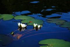 Water lilies (sakarip) Tags: waterlily lumme lumpeet sakarip water lake blue plant finland kivijärvi luumäki flower reflection