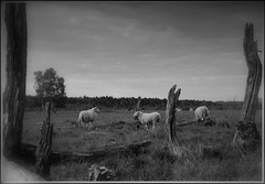""" Sheeps Gildehauservenn "" (Kalbonsai) Tags: monochrome bw naturphotography gildehauservenn sheep holz heide scape nikon d5100 1685mm schapen"