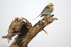 s AT Lilac Roller_DSC_0292 (Andrew JK Tan) Tags: safari 2016 wildlife animals lilacbreastedroller