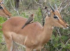 Oxpecker on Impala (tapaculo99) Tags: africa southafrica birds aves mammal animal antelope impala starling oxpecker redbilledoxpecker aepycerosmelampus buphaguserythrorhynchus