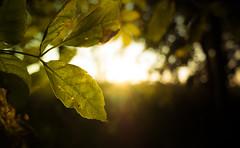 Blatt im Herbst / Autumn leaf (maximilianhaag) Tags: autumn fall leaf sun light sunset golden green nature natur blatt herbst sonnenuntergang goldene stunde magisches sonnenlicht
