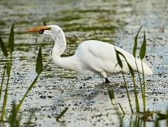 Aug 30 201610788 (Lake Worth) Tags: animal animals bird birdwatcher birds canonef500mmf4lisiiusm canoneos1dxmarkii everglades feathers florida nature outdoor southflorida waterbirds wetlands wildlife wing