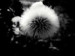 Even flowers look cool with white hair (MoonDog (Life is Beautiful)) Tags: dandelion flower blackwhite blackandwhite soft nature