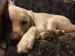 Calvin is very sleepy after the golf tournament (hero dogs) Tags: dog labrador cute therapydog servicedog