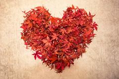 Autumn leaf heart (photoart33) Tags: leaves acer heart love stilllife