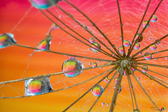 Rainbow (Esther5h (On and Off)) Tags: oostersemorgenster orientalsalsify closeup drop droplet drops druppel macro water catchycolors bright colourful colorful colours colors rainbow regenboog
