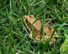 Frog in the grass (pilechko) Tags: frog grass bowmanshill newhope color pennsylvania