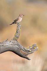 cassin's finch fort rock oregon (lee barlow) Tags: d800 birdsofbritishcolumbia birdsofnorthamerica carpodacuscassinii cassinsfinch fortrock leebarlow nikon oregon
