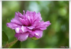 Je vois la vie en rose (akel_lke ) Tags: rakel raquel elke rakelelke raquelelke rakelmurcia regindemurcia murcianorte murcia espaa spain espagne europa europe nikon nikond300s d300s nikkor18200 objetivo18200mm rosa rose flower fleur fiore blumen  kvtina cvjetni kvetina floro lill lore kukka blodau    paj bloem virg bunga blm  zieds iedas  kwiat floare  blomma iek  hoa