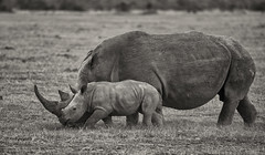 Why Shouldn't We Have A Future ? (AnyMotion) Tags: worldrhinoday whiterhinoceros squarelippedrhinoceros rhino breitmaulnashorn ceratotheriumsimum mother calf mutter kind animal animals tiere nature natur wildlife 2011 olpejetaconservancy sweetwatersgamereserve kenya kenia africa afrika anymotion reisen travel 5d2 canoneos5dmarkii bw blackandwhite sw