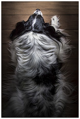 Dog (JakaPH Photography) Tags: dog animal pet top view up laying looking light abstract white black wood wooden perspective home house waiting lone alone bored