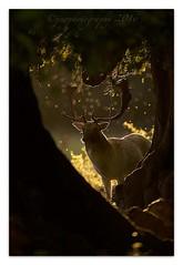 Fallow Buck (cheffievrs) Tags: 1dxmarkii 600mmf4lis antlers autumn backlit borderfx buck canon damadama fallowdeer fullframe heartshapped midges nature rimlight rutseason sunset wildfree