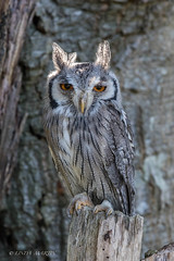 Southern White Faced Owl (Explore 6/10) (Linda Martin Photography) Tags: newforest hampshire owls southernwhitefacedowl uk ptilopsisgranti coth coth5 ngc npc