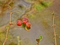 #صباح_الورد  #goodmorning  #plant #ثمرة #تصويري #الفا #sonya  #sonyalpha  #2015 #شعيب #وادي #قبه #قبة #السعوديه  #السعودية #ksa #saudi #saudiarabia  #saudi_arabia #طلح #طلحة #شجرة #شجر #plants #instaplant #instaplants #صباح_الخير #good_morning #hdr #insta (Instagram x3abr twitter x3abrr) Tags: شجر قبة ثمرة شجرة instaplants وادي طلحة hdr طلح قبه السعودية saudiarabia goodmorning السعوديه saudi تصويري instahdr صباحالخير plant شعيب 2015 plants sonyalpha sonya ksa الفا صباحالورد instaplant