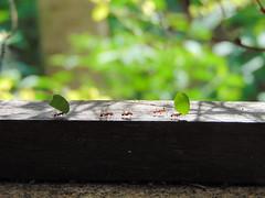 trabalhando de domingo (Gigica Machado) Tags: ants formigas nature natureza naturaleza natur green verde bokeh outside