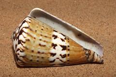 Captain cone snail (Rhizoconus capitaneus) under side (shadowshador) Tags: captain cone snail rhizoconus capitaneus neomura eukaryota opisthokonta holozoa filozoa animalia lophotrochozoa mollusca conchifera gastropoda gastropod gastropods orthogastropoda orthogastropod orthogastropods neogastropoda neogastropod neogastropods conoidea conidae puncticuliinae conchology malacology invertebrate invertebrates taxonomy scientific classification biology sea snails shell shells sand sandy beach wildlife life