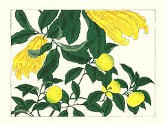 Etrog and Satsuma mandarin orange (Japanese Flower and Bird Art) Tags: flower etrog citrus medica rutaceae satsuma mandarin orange unshiu hoitsu sakai kiitsu suzuki kimei nakano nihonga woodblock picture book japan japanese art readercollection