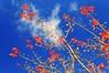 Sky and Maple (nikkorglass) Tags: himmel maple sky polfilter polarization d300 nikon nikkor 18200 ginnalalönn