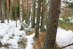 Forest_trail_2 (Liga_Eglite) Tags: cold destination forest gauja landscape ligaeglite nationalpark nature naturereserve river snow spring tourist trails travel tree walk waters weather wilderness winter mothernatureatherbest