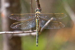 YAD (mgjefferies) Tags: dragonfly australia queensland odonata insecta stanthorpe mgjefferies