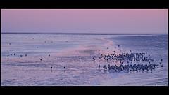Strandlopers (Pieter ( PPoot )) Tags: haven birds waddenzee vogels aftersunset strandlopers holwerd hetwad avondgloed dewadden laatsteavondlicht