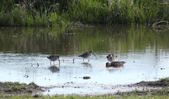 Shorebirds with Green-winged Teal (artlessfun) Tags: bird shorebird longbilleddowitcher clarkcountywashington ridgefieldnwr artlessfun canoneosrebelt3i img14555