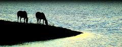 Remanso (Eduardo Amorim) Tags: sunset brazil horses horse southamerica field gua brasil criollo caballo cheval atardecer caballos agua tramonto sonnenuntergang dam prdosol barragem campo cavalos pelotas damm pferde cavalli cavallo cavalo pferd riograndedosul barrage pampa poniente champ anoitecer coucherdesoleil aguada campanha brsil chevaux entardecer crepsculo  amricadosul aude poente diga amriquedusud   sudamrica suramrica amricadelsur sdamerika crioulo caballoscriollos criollos  tropillas costadoce americadelsud tropilhas tropilla crioulos cavalocrioulo americameridionale caballocriollo auffangen eduardoamorim cavaloscrioulos natureselegantshots iayayam yamaiay