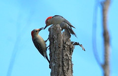 red bellied woodpecker pair (Shelby Townsend) Tags: redrivernationalwildliferefuge slbnesting redbelliedwoodpeckerpair
