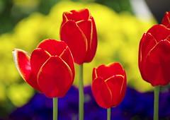 Tulips (h orihashi) Tags: flower macro nature japan tulips pentax hiroshima 日本 花 k5 広島 ruby3 coth supershot ourdreams tellmewhatyouthink 2free flowersforever livinggreen flickrhearts flickraward diamondclassphotographer flickrdiamond citrit heartawards everydayissunday excellentsflowers wholelotofflowers flowersofallkinds flowerbudsandblossoms damniwishidtakenthat simplythebestflowers pentaxk5 macroinstyle naturallywonderful franothekat allwhatyoulike thesunshinegroup