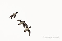 Bird Formation (A.Sundell) Tags: lake bird nature rain weather birds animal prime duck pentax sweden natur swedish 300mm da raindrops birdsinflight sverige vatten f4 anka bif fglar sj djur fgel vstmanland surahammar naturfoto weathersealing framns naturphoto da300mm pentaxda300mmf4 pentaxda3004 pentaxk5